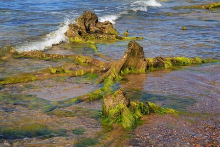 Large old wood stumps in the water on the sea coast.