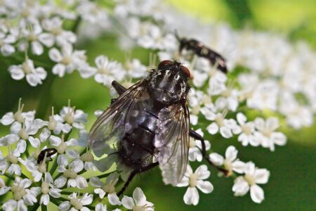 Big black housefly on the small white flowers.