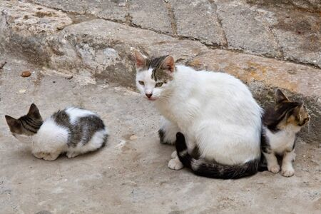 Domestic cat with small kitties in moroccan Medina quarter.