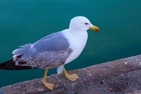 The yellow-legged gull (Larus michahellis) walking on the pier near sea. 스톡 콘텐츠