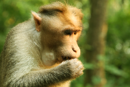 Hungry Macaque Monkey eating with trees background