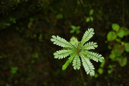 humilde: Ciérrese encima de la planta sensible