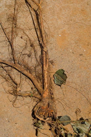 Roots of tree on the terrace or streets Standard-Bild