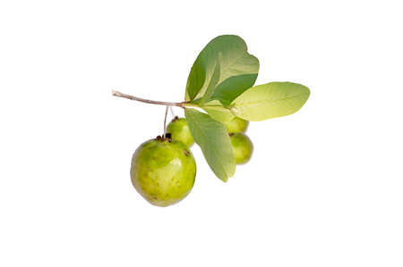 Fresh guava fruit isolated on white backgrounds Standard-Bild