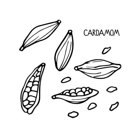 Cardamom set. Hand drawn vector spices. Doodle Outline illustration for cafe, spice shop, menu. Organic, fresh cooking, healthy diet ingredient. Organic product sketch. Flavor cooking ingredient. Imagens - 156739220