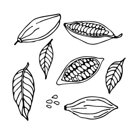Cocoa set. Hand drawn vector Cocoa beans, leaves sketch on white background. Doodle Outline illustration for cafe, shop, menu. Plant parts. Organic product sketch.