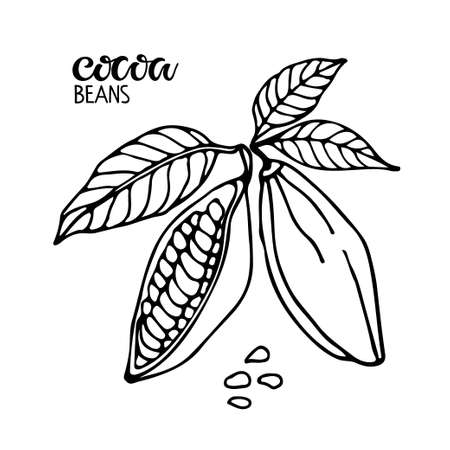 Vector handwritten Cocoa beans lettering and Cocoa beans with leaves sketch on white background. Doodle Outline illustration for cafe, shop, menu. Organic food sketch.
