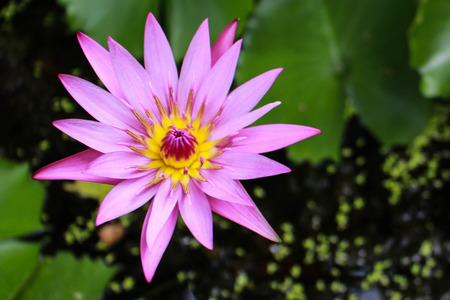 luscious: Single luscious lilies bloom Stock Photo