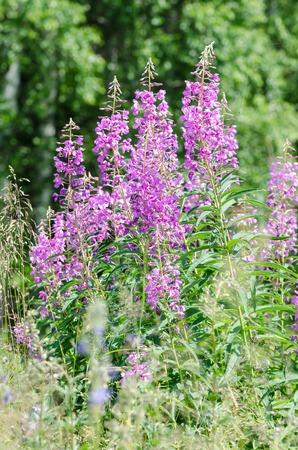 angustifolium: flowers of Willow-herb Ivan-tea on blurred background