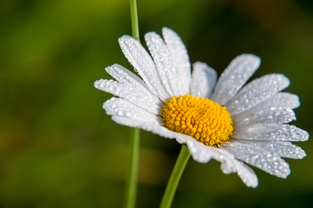 Chamomile or camomile flower with drops of water on the white petals after rain on the green background. Macro. Stock Photo