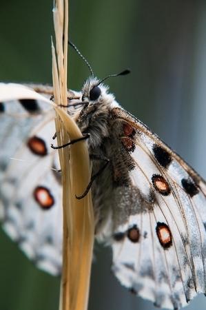 草の上の蝶アポロ。マクロ スナップショット。 写真素材