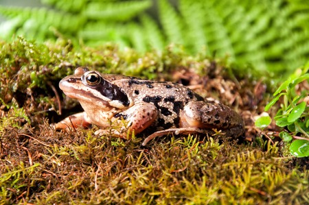 A brown frog with forest background Stock Photo