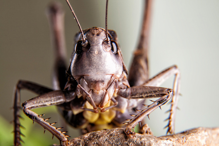 Macro portrait of brown Grasshoppers Stock Photo