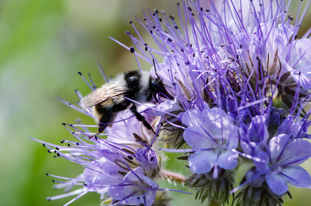 Macro closeup of a ornamental blue lavender clustered flower of Phacelia annual cultivated as honey nectar rich bee plant used in agriculture as cover crop known as green manure