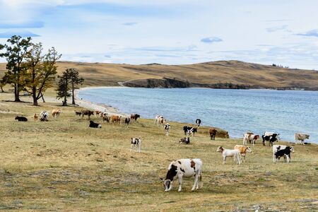 Lake Baikal, hills and cows eat grass with beautiful sky and clouds, Russia Oklhon island