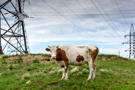 Cow on a green meadow in the industrial countryside outdoors near posts with blue clouds