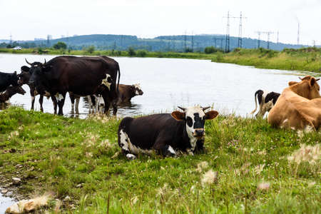 Cows on a green meadow in the industrial countryside outdoors near posts with blue clouds