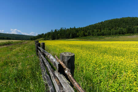 Yellow rapeseed flowers on field with blue sky, forest on background and wooden old fence in summer Standard-Bild