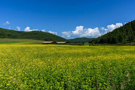Yellow rapeseed flowers on field with blue sky, forest on background and wooden old huts in summer