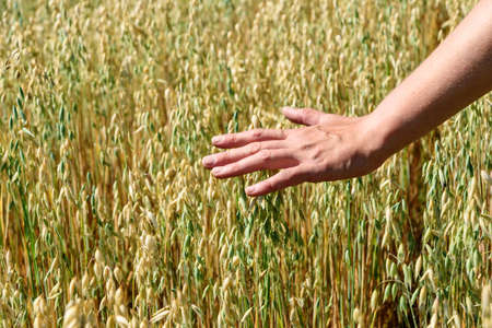 Hand of farmer touches ears of rye oats. Green ears with seeds of cereals rye wheat oats in field