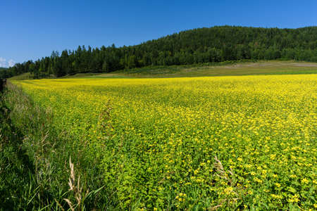 Yellow rapeseed flowers on field with blue sky and forest on background in summer Standard-Bild