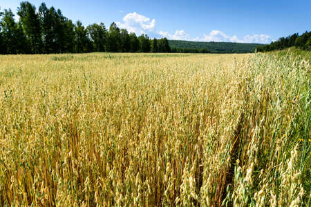 Soft blur background of oat yellow field Standard-Bild