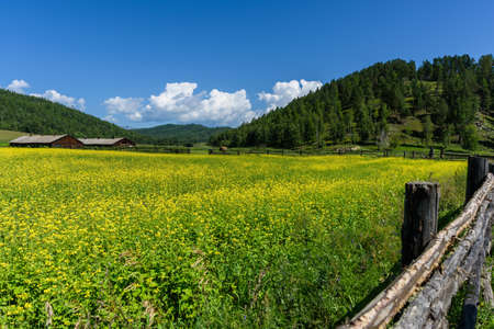 Yellow rapeseed flowers on field with blue sky, wooden old fence and huts in summer Standard-Bild
