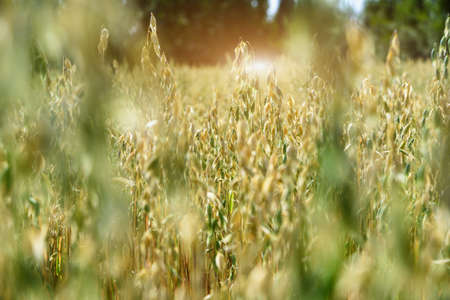 Soft blur background of oat field in summer