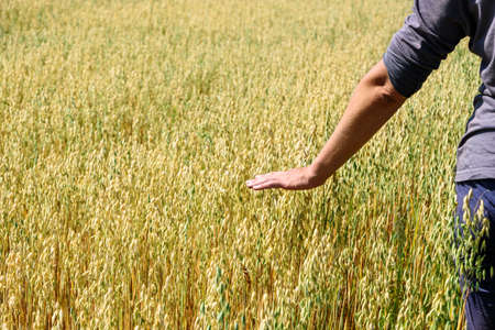 Hand of farmer touches ears of rye oats. Green ears with seeds of cereals rye wheat oats