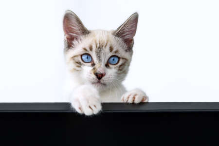 Cat kitten hanging over blank poster or board