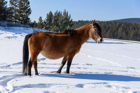 Wild brown horse stands on the road and looking to the camera in winter