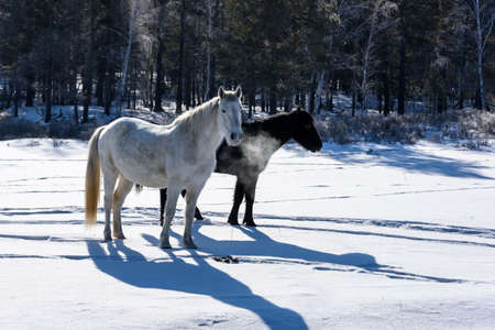 Wild brown and white horses walking on the field in winter in Russia