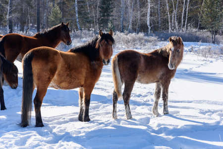 Wild brown horses walking on the field in winter in Russia