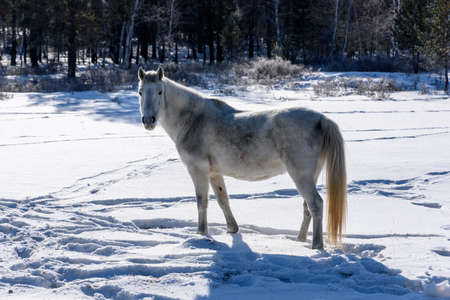 Wild white horse stands on the road and looking to the camera in winter