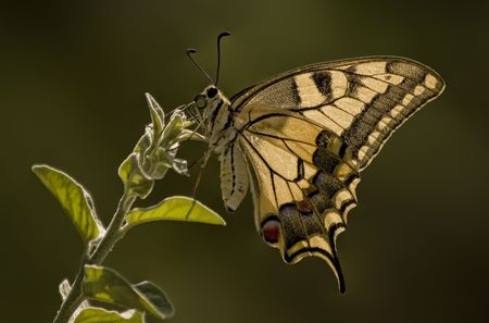 Tiger Swallowtail Butterfly Macro