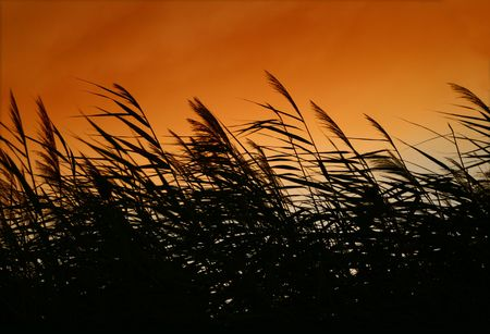 Whispering Reeds At Sunset Wind