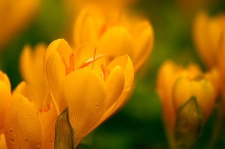 Yellow Crocuses after an afternoon rain. Shallow DOF, Soft focus.
