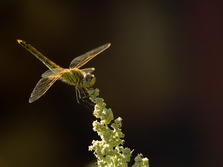 A dragon fly resting on a flower stem. Shallow DOF.