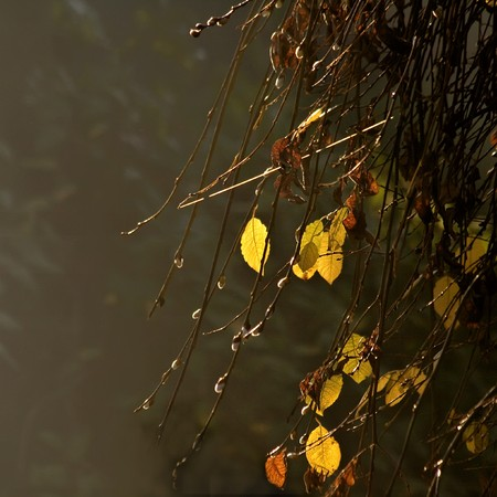 Yellow leaves on a misty autumn day.