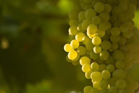 A bunch of ripening white grapes on grapevine in a vineyard. From Canakkale, Turkey.