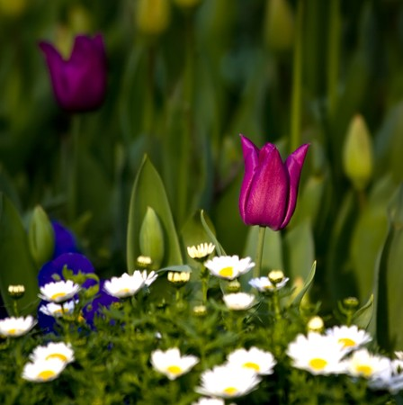 One Pink Tulip with a hill of daises.