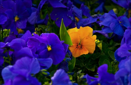 One yellow violet in a crowd of purple violets.