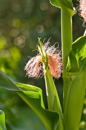 Female corn, with silk.