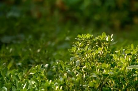 Organic  Purslane Field; Also known as Verdolaga, Pigweed, Little Hogweed or Pusley.