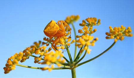 Goldenrod Crab Spider On Fennel photo