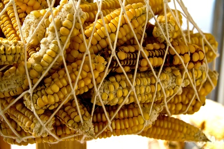 Hanged Dry Organic Corns In A Net photo