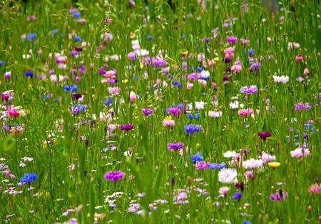 Bachelor button (Corn Flower) flower field as a background...