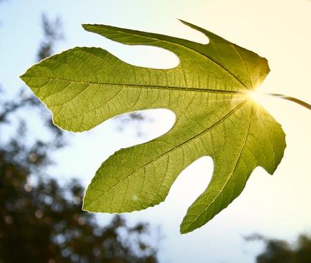 feuille de figuier: sur fond de ciel avec sun ray