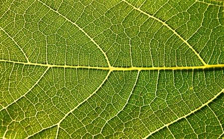 Feuille de vigne sur fond de ciel rendant transparent avec sun  Banque d'images