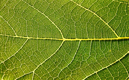 Fig leaf against sky making it transparent with sun  photo